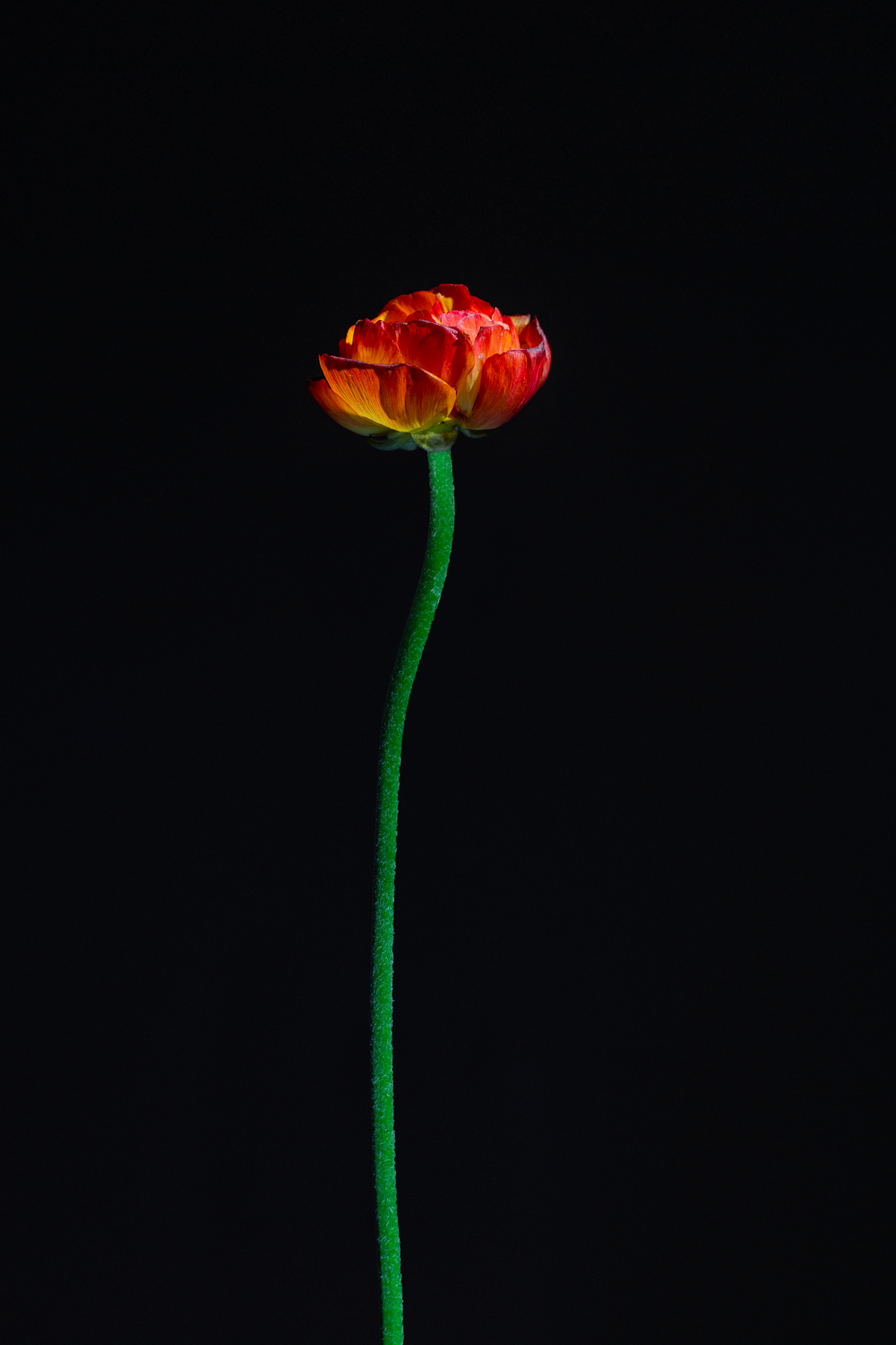 minimalist photography of red-petaled flower