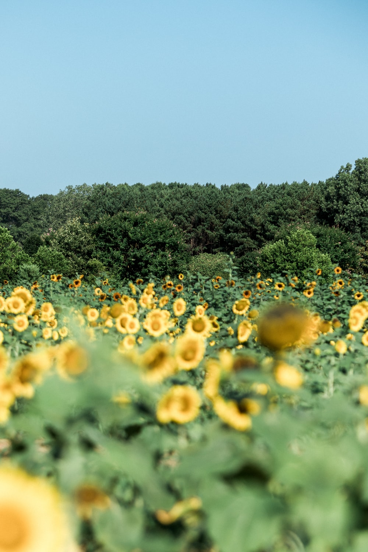 macro photography of blooming yellow sunflower field