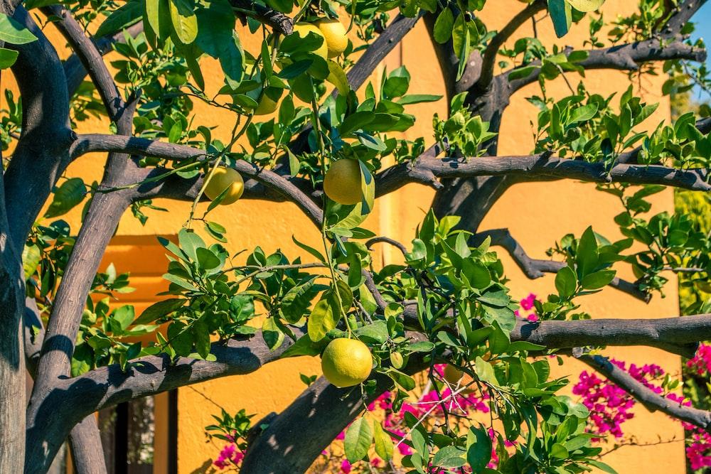 pomelo fruits in tree near flowers