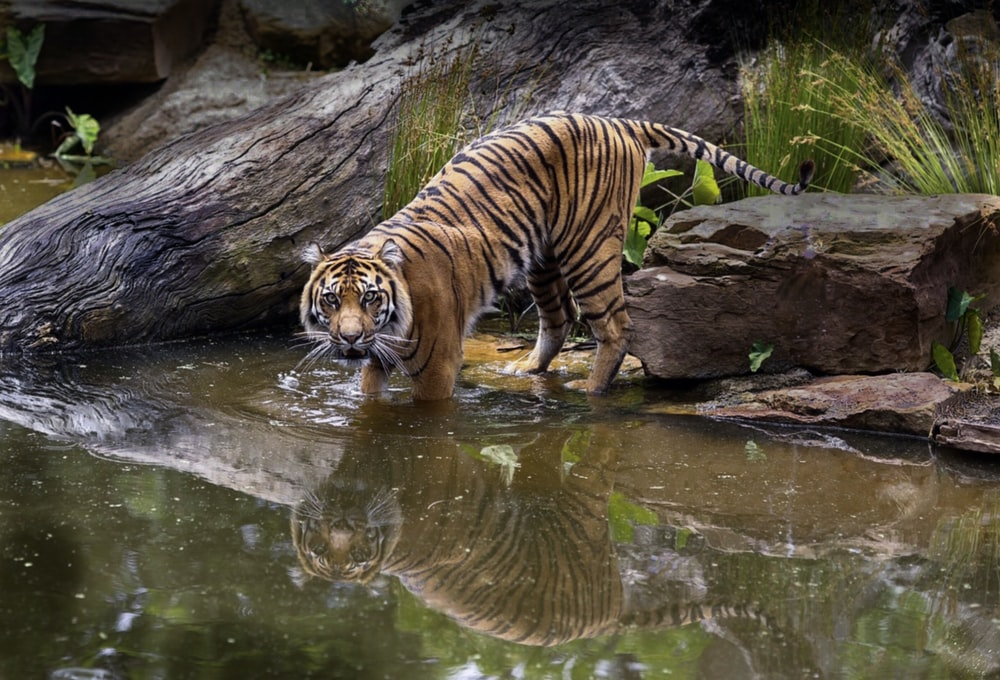 adult tiger in body of water during day