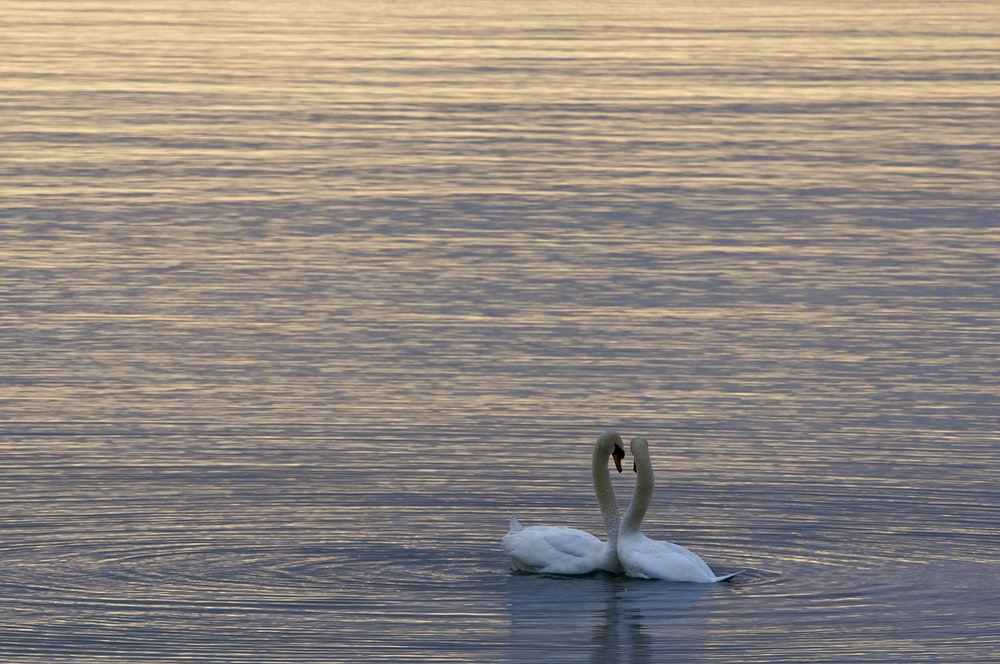 two white swans on water