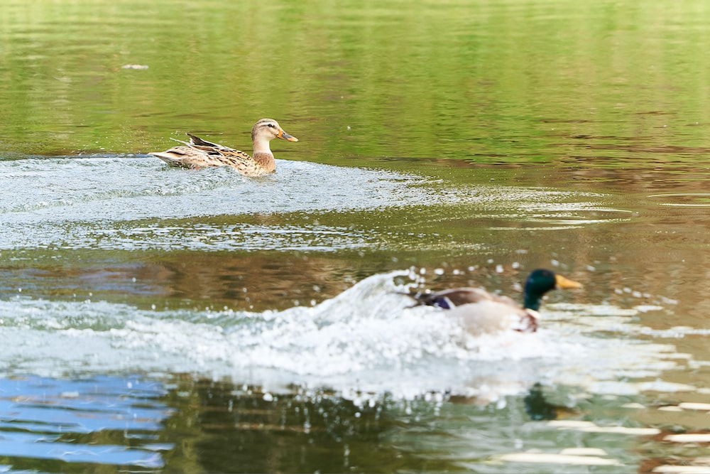 ducks floating on body of water