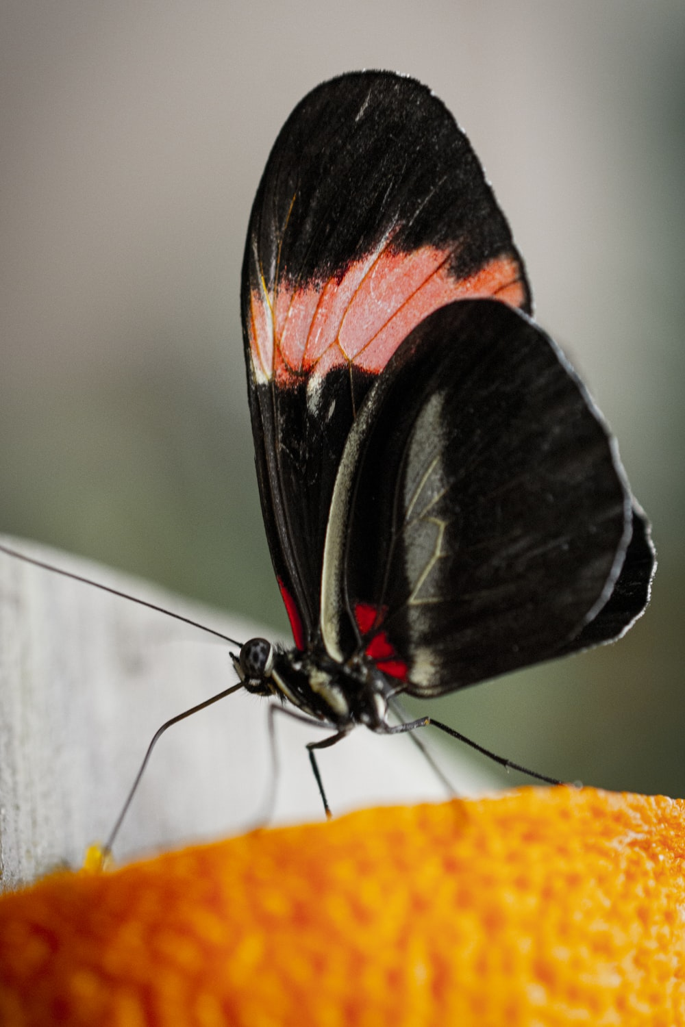 shallow focus photo of black and pink butterfly