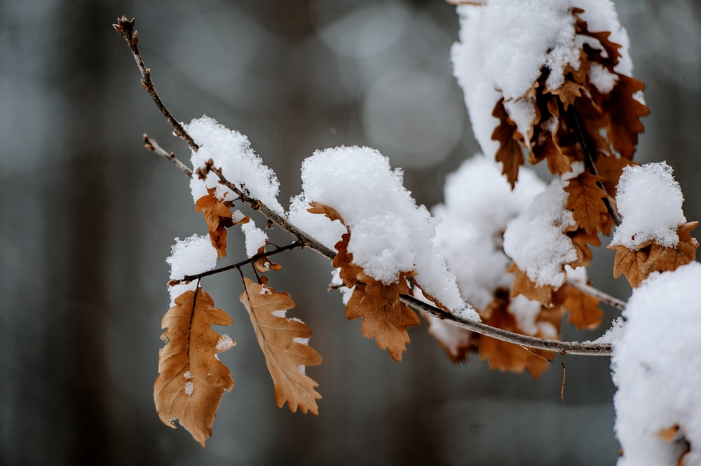 shallow focus photo of snow covered brown leaves