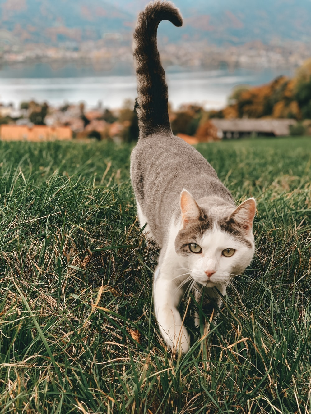 white and gray cat walking on grass \