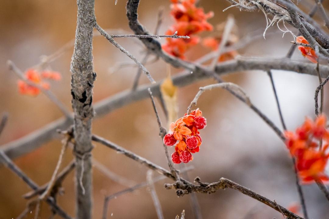 Bittersweet in winter