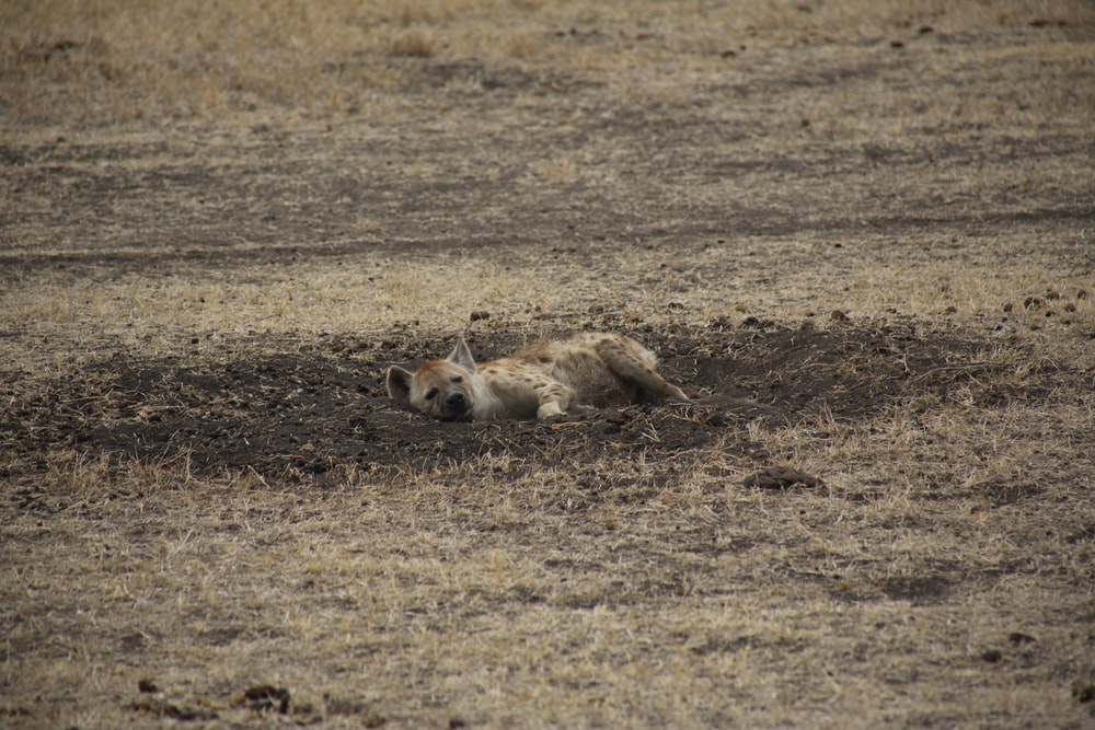 hyena lying on dirt