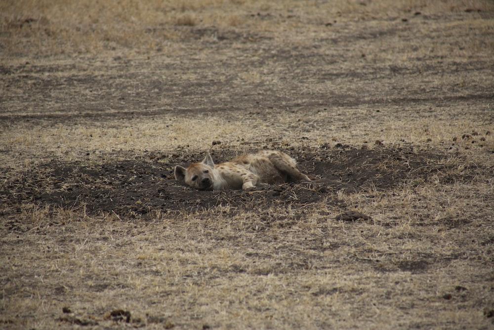 hyena lying on dirt