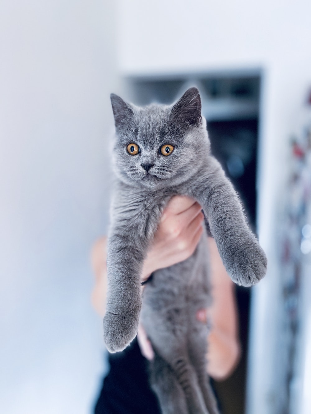Grey Cats Pictures Download Free Images On Unsplash