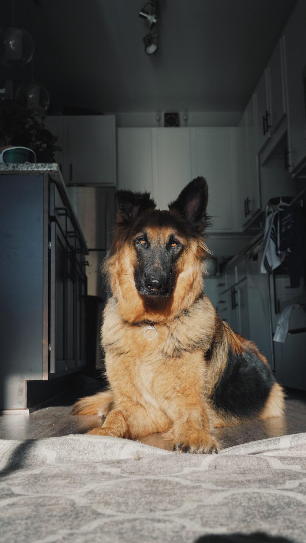 adult black and tan German shepherd