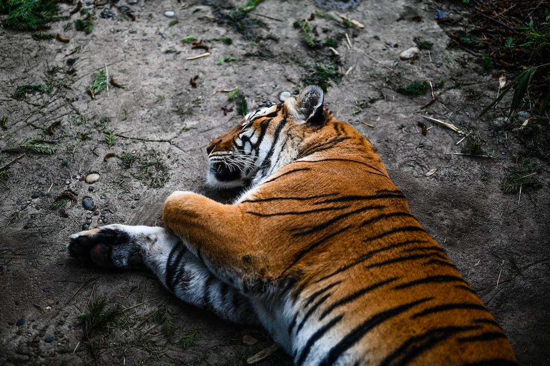Tiger Sleeping - unsplash