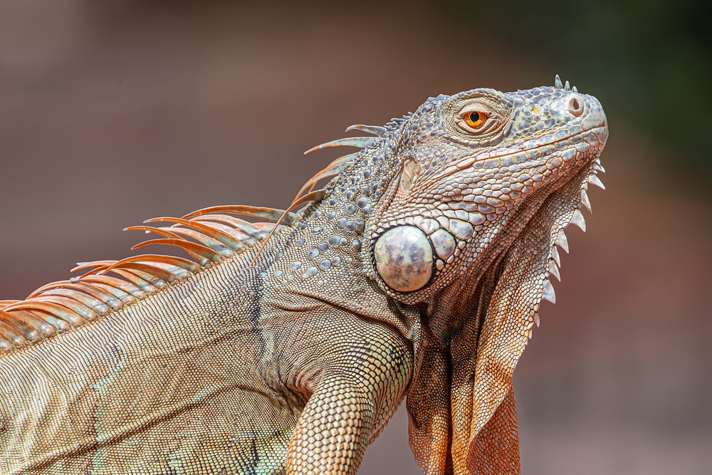 selective focus photography of gray lizard