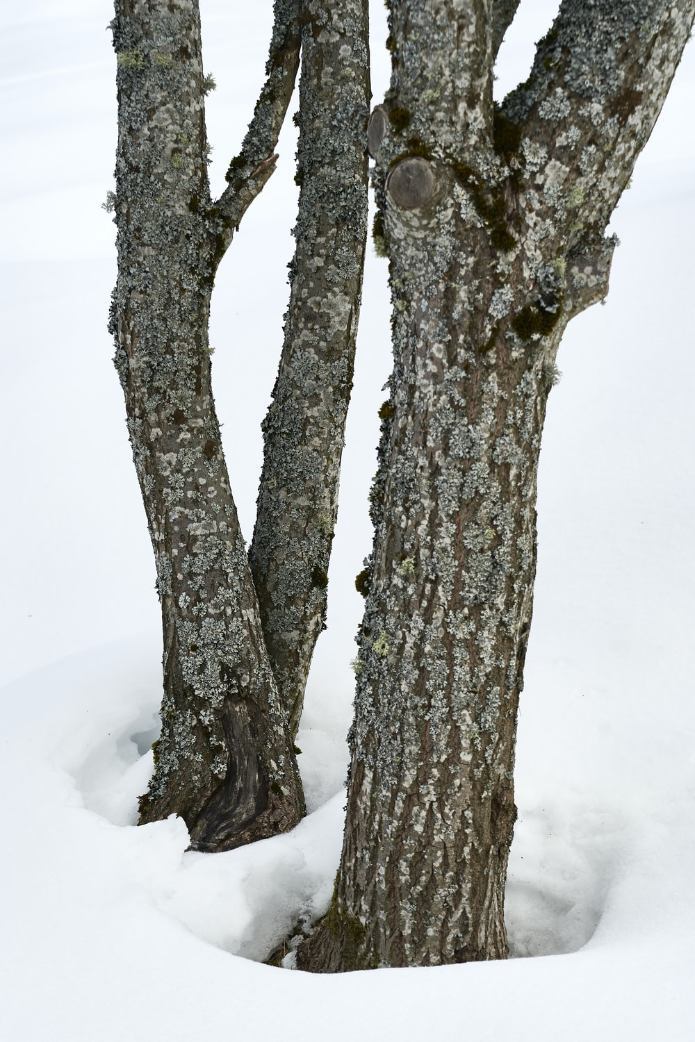 brown trees with snow