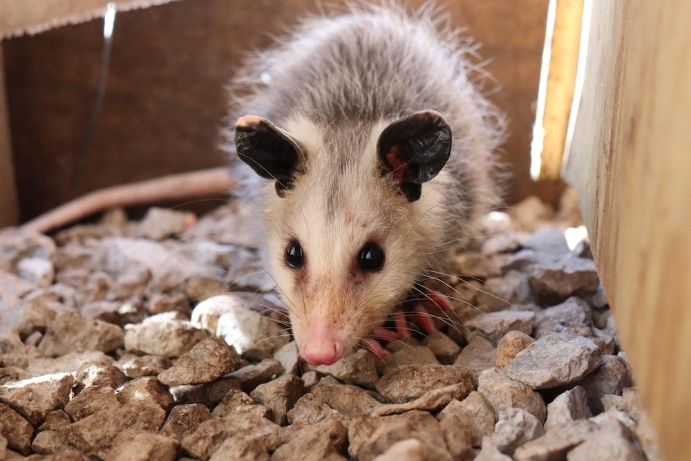 macro photography of white and gray common opossum