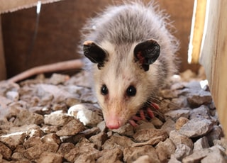 macro photography of white and gray common opossum