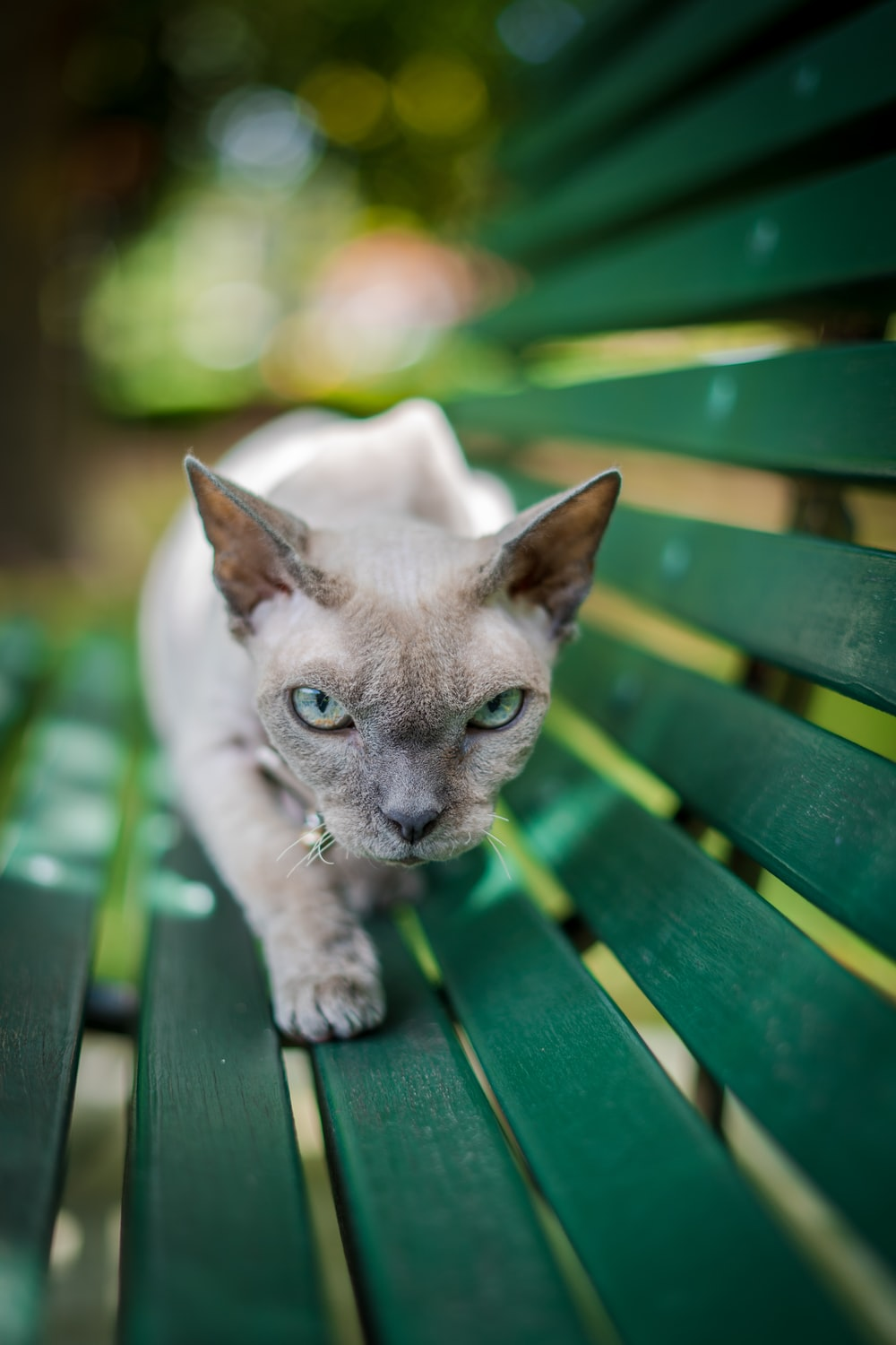 short-furred grey cat on the bench