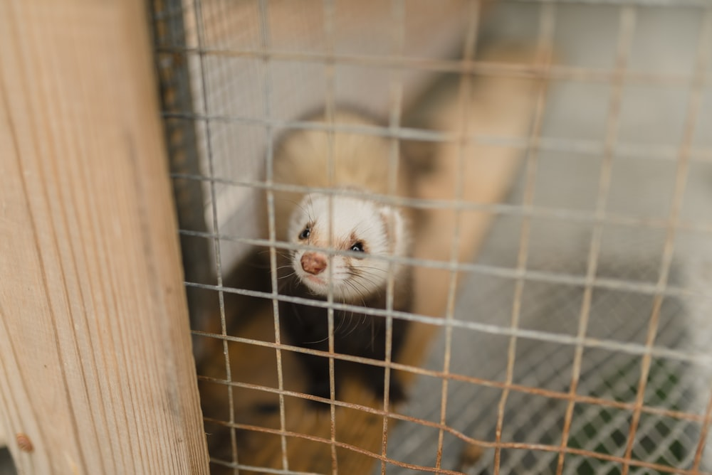 brown weasel in cage