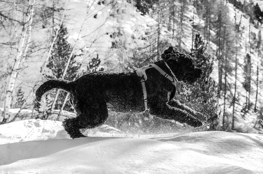 grayscale photography of short-coated dog running on snowy field