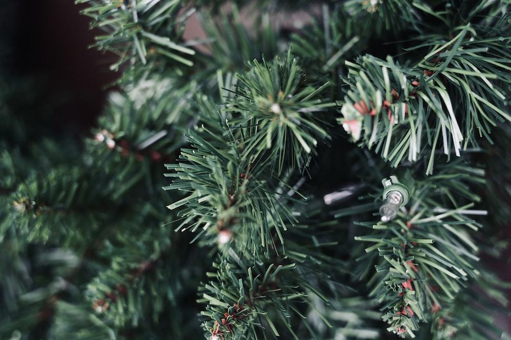 macro photography of green Christmas tree