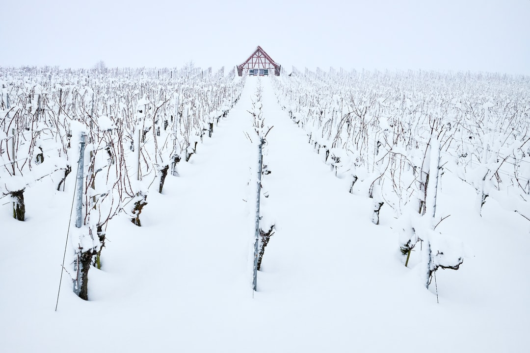 Wineyard fully covered with snow. Full whiteout in snow flurry.