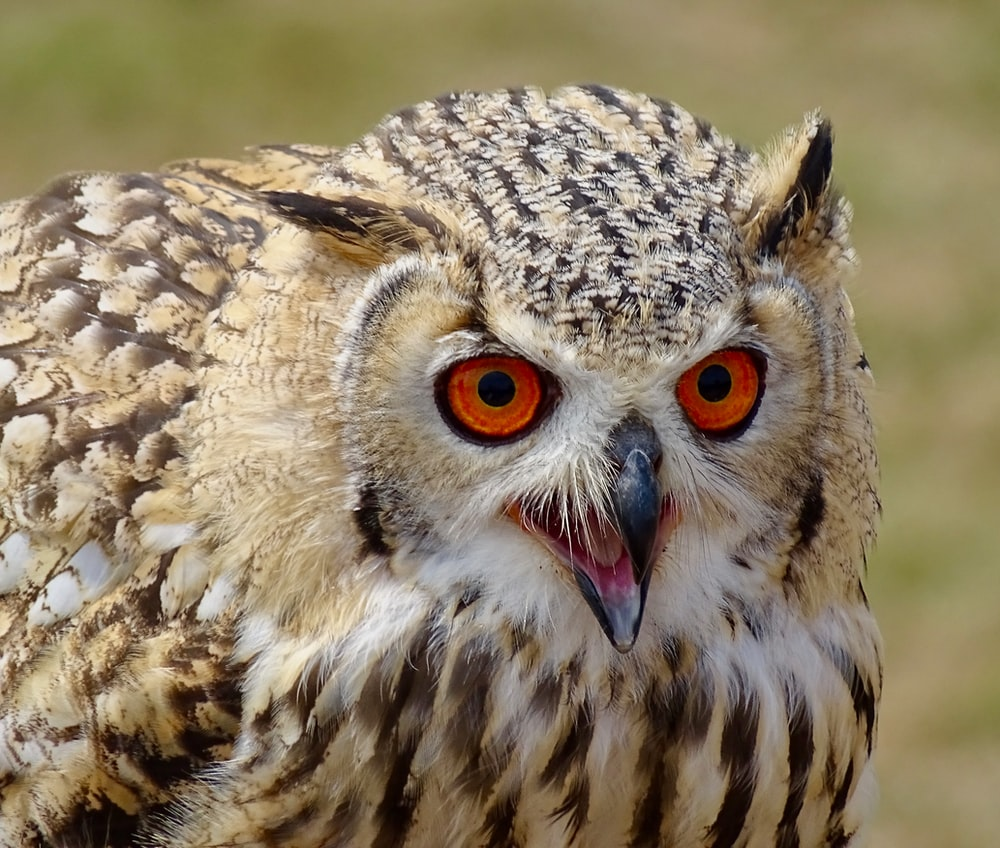 macro photography of great horned owl