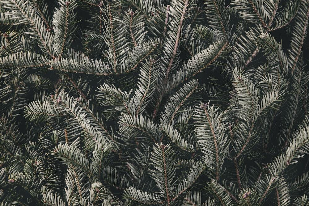 green pine leaves