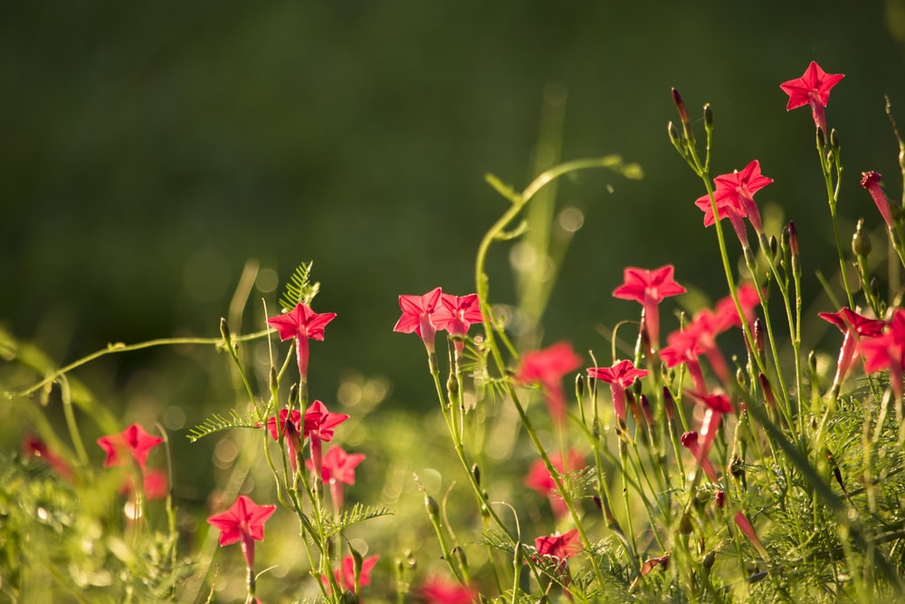 bed of red flower