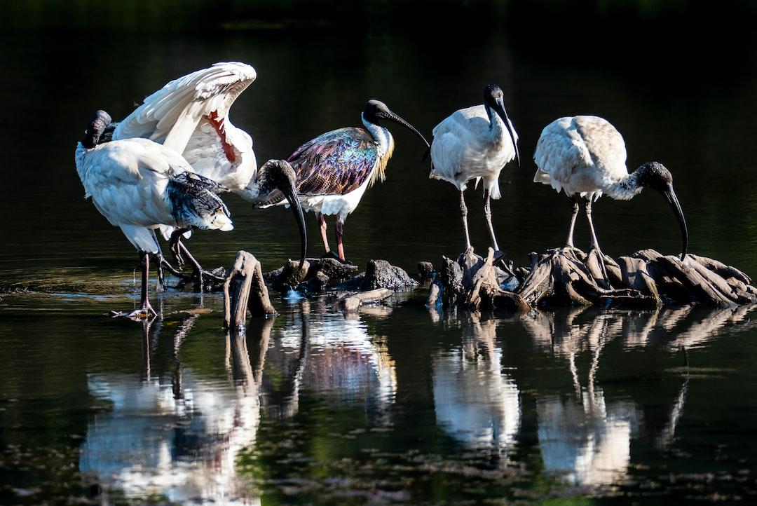 A Straw-Necked Ibis With Four Australian White Ibises At Freshwater Lake In Cairns, Australia. - unsplash