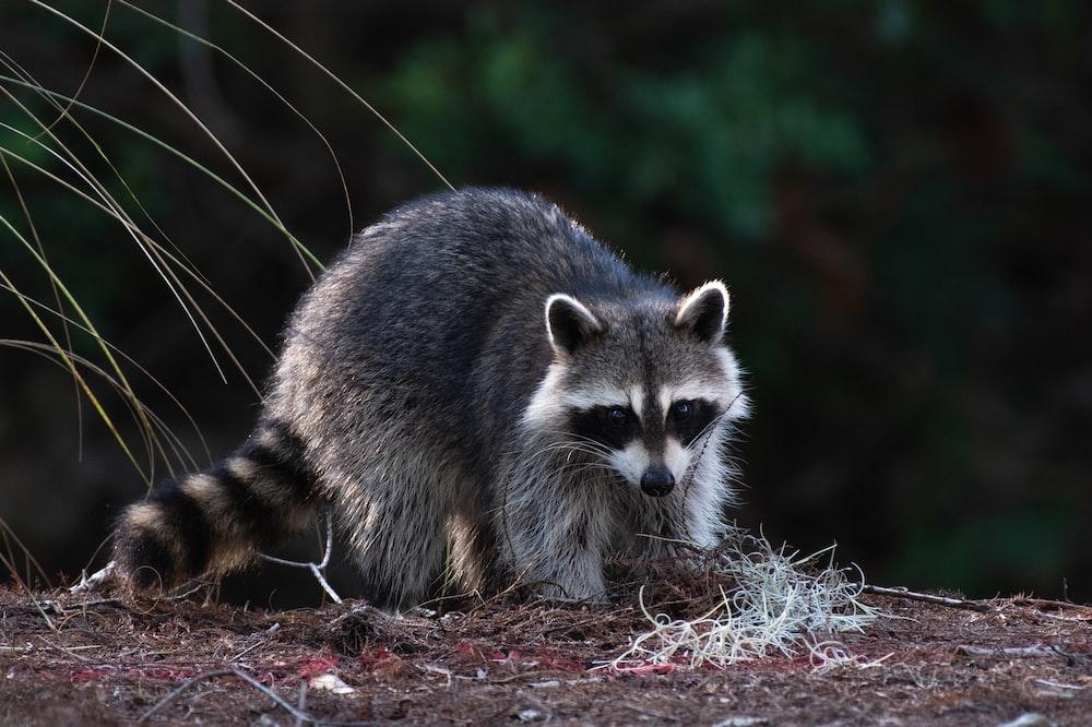 black raccoon