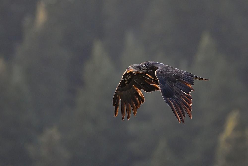 black eagle on mid air