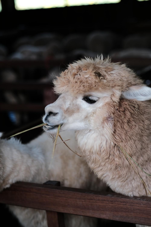 white alpaca eating grass