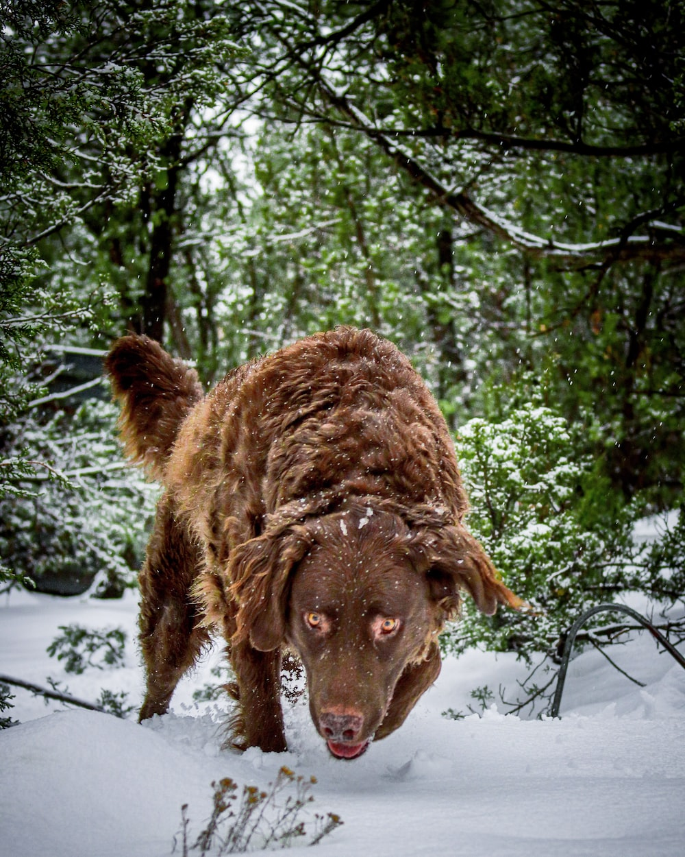 long-coated brown dog on snowy field