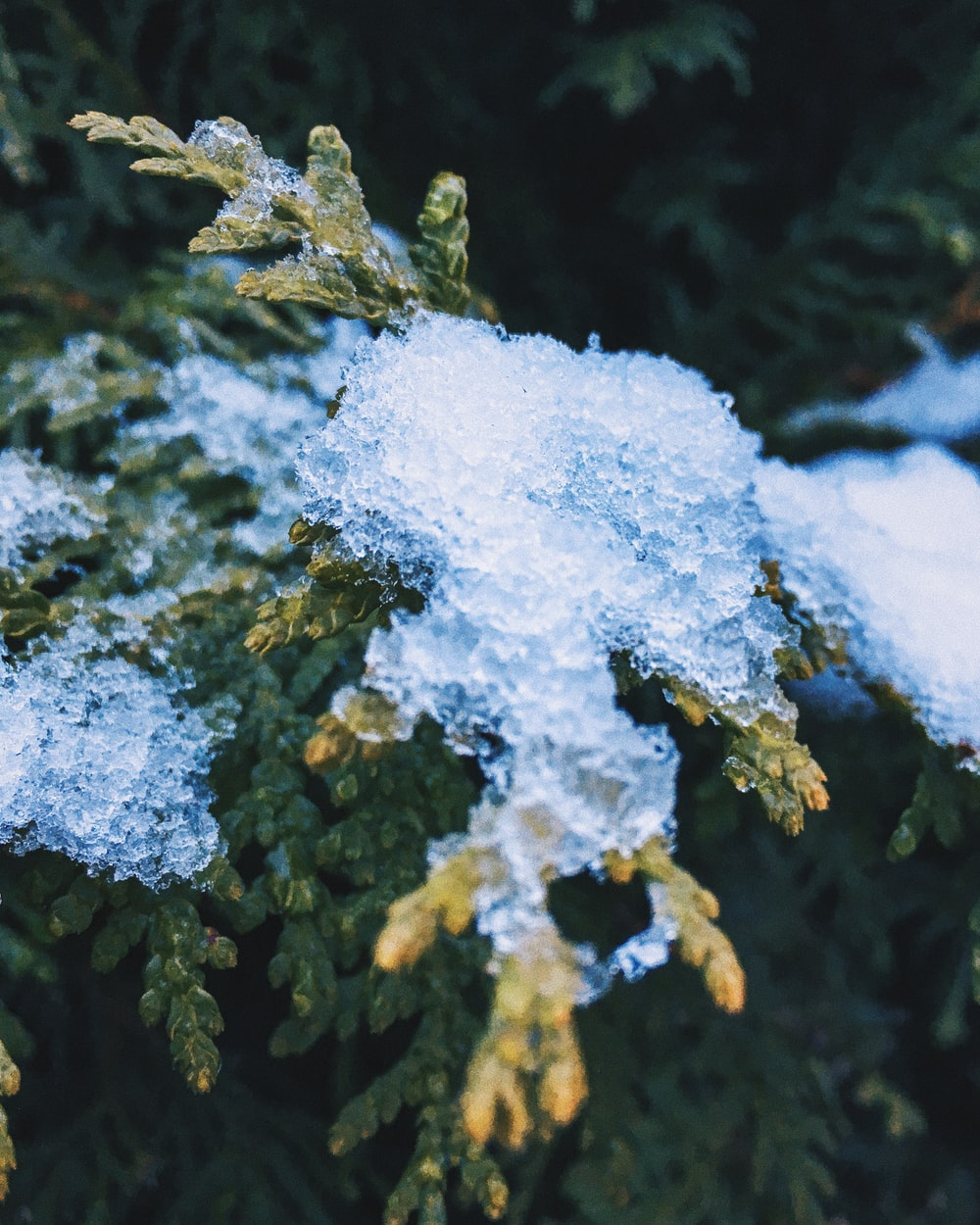 macro photography of snow on green pine tree