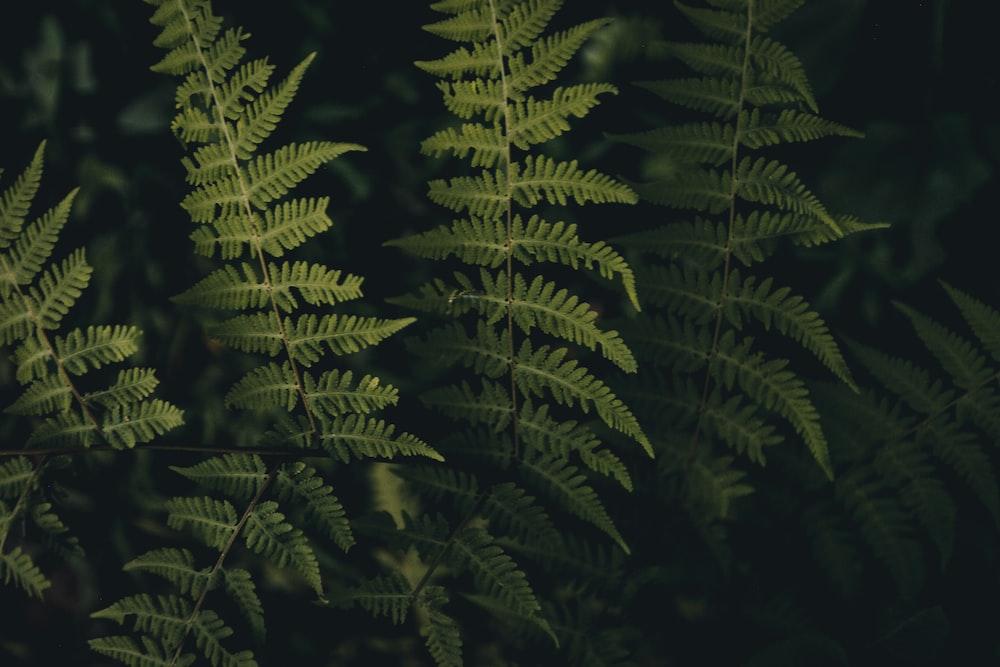 green fern plants