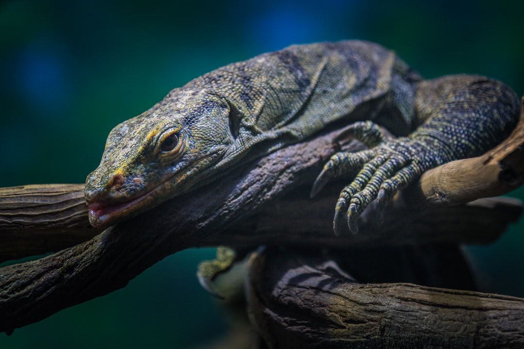 This is a Monitor Lizard, one of the largest lizards in Asia.