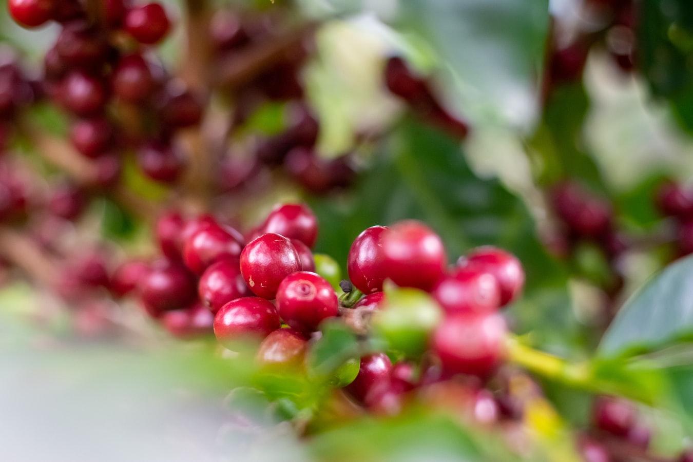kostaryka plantacje kawy wulkan poas