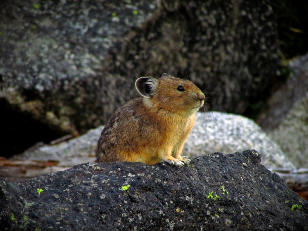 Pika (Cony) watching for danger on a rock.