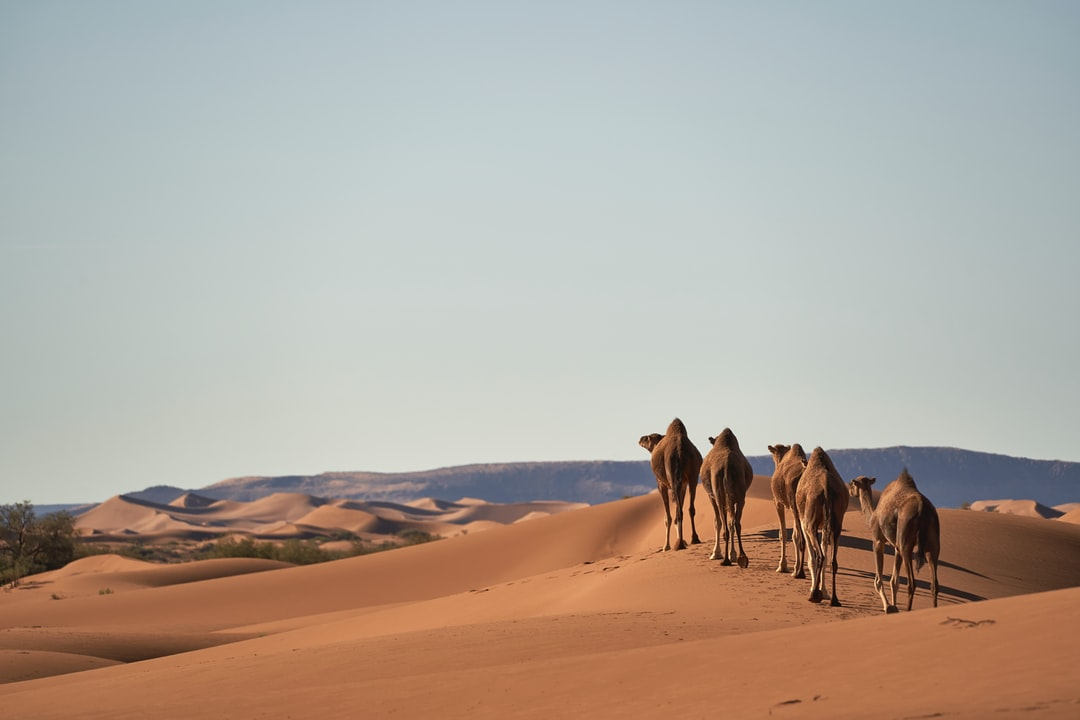 Four Camels On Desert - unsplash