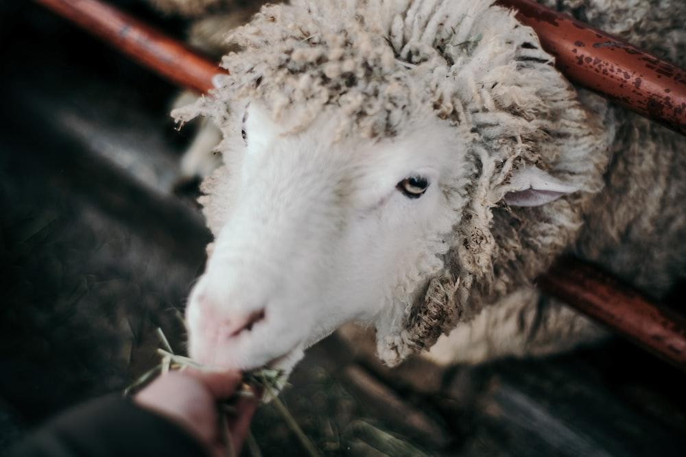 person feeding sheep