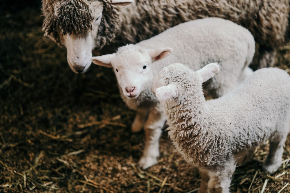 two gray lambs