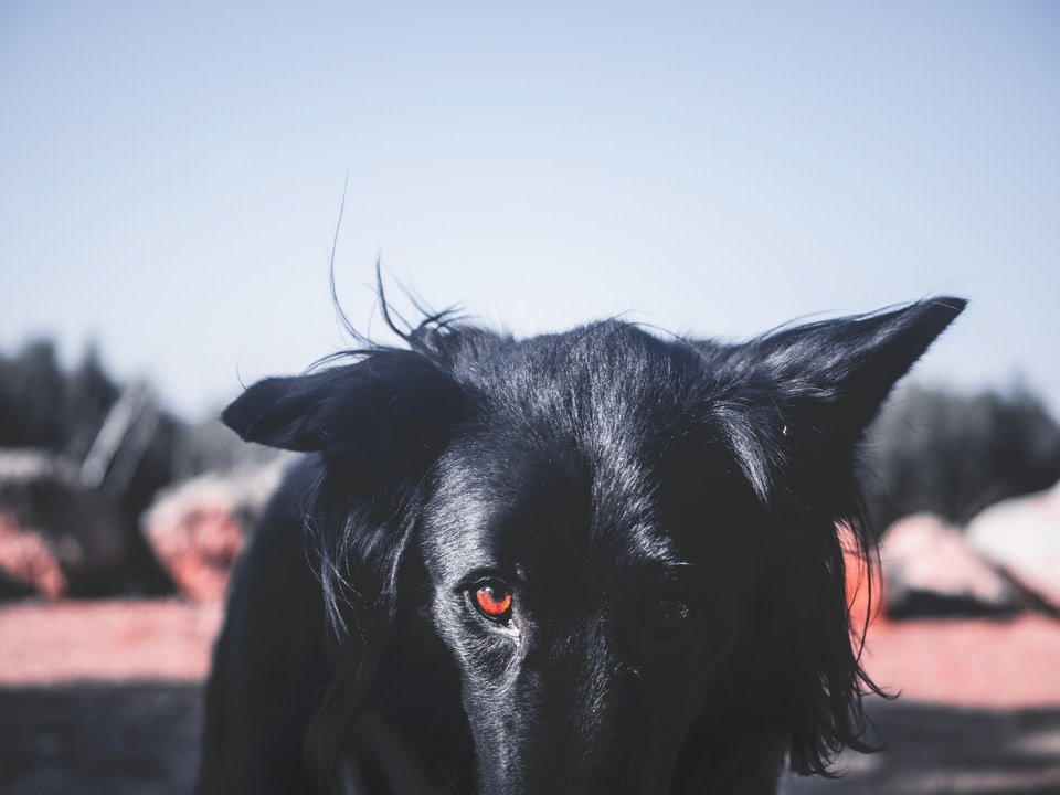 black dog looking at the camera during day