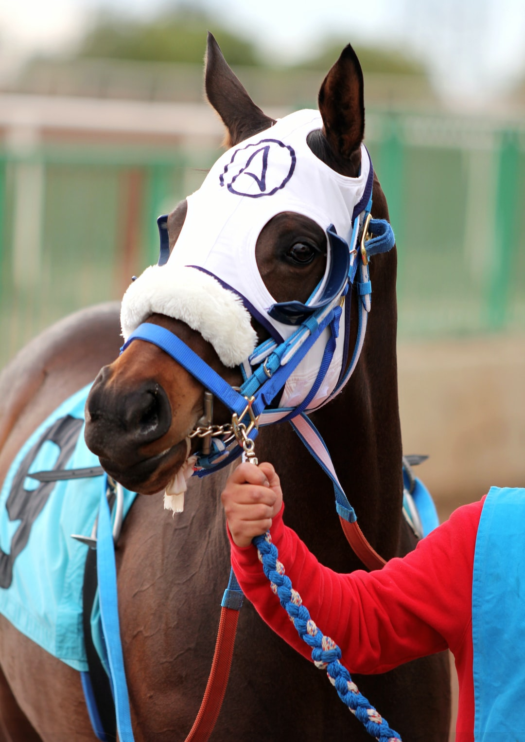 A thoroughbred race horse is held by its handler.