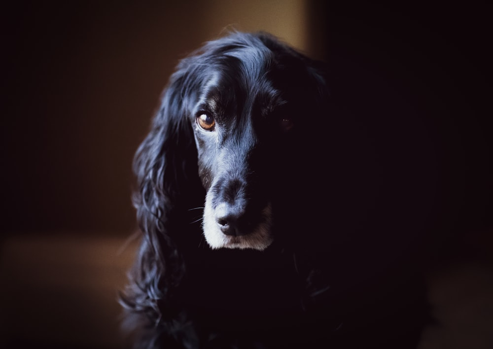 shallow focus photo of long-coated black dogf