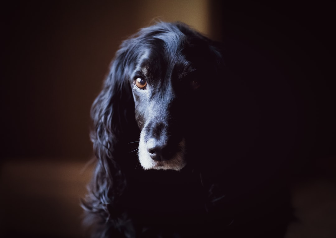 Old Man (english Cocker Spaniel) - unsplash