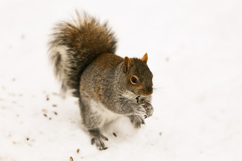 brown squirrel standing on snow