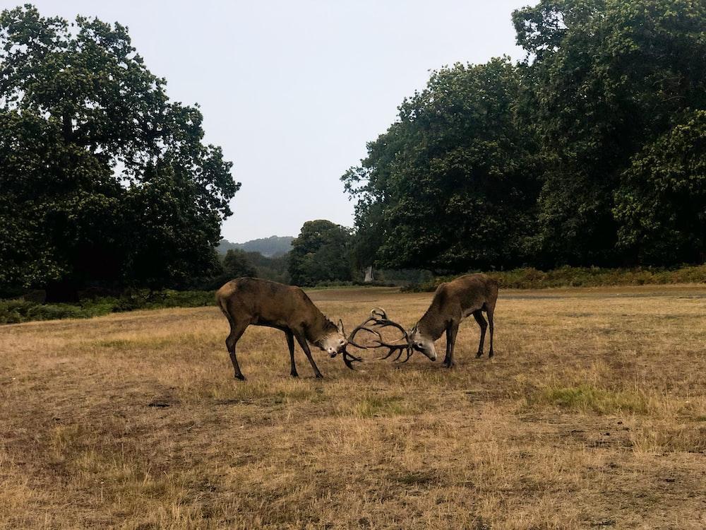 two fighting deer