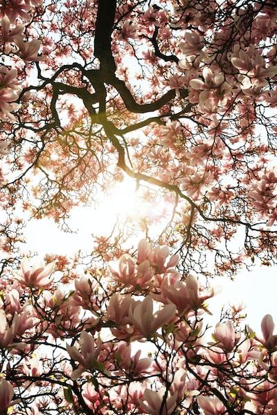 Magnolia tree blooming.