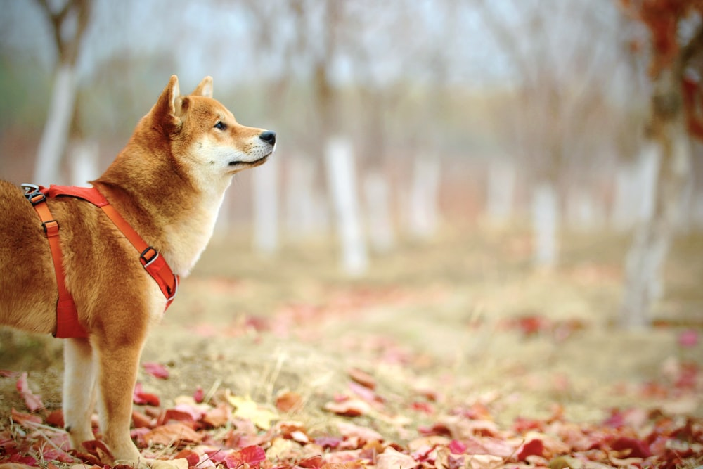 adult short-coated red akita inu dog on field