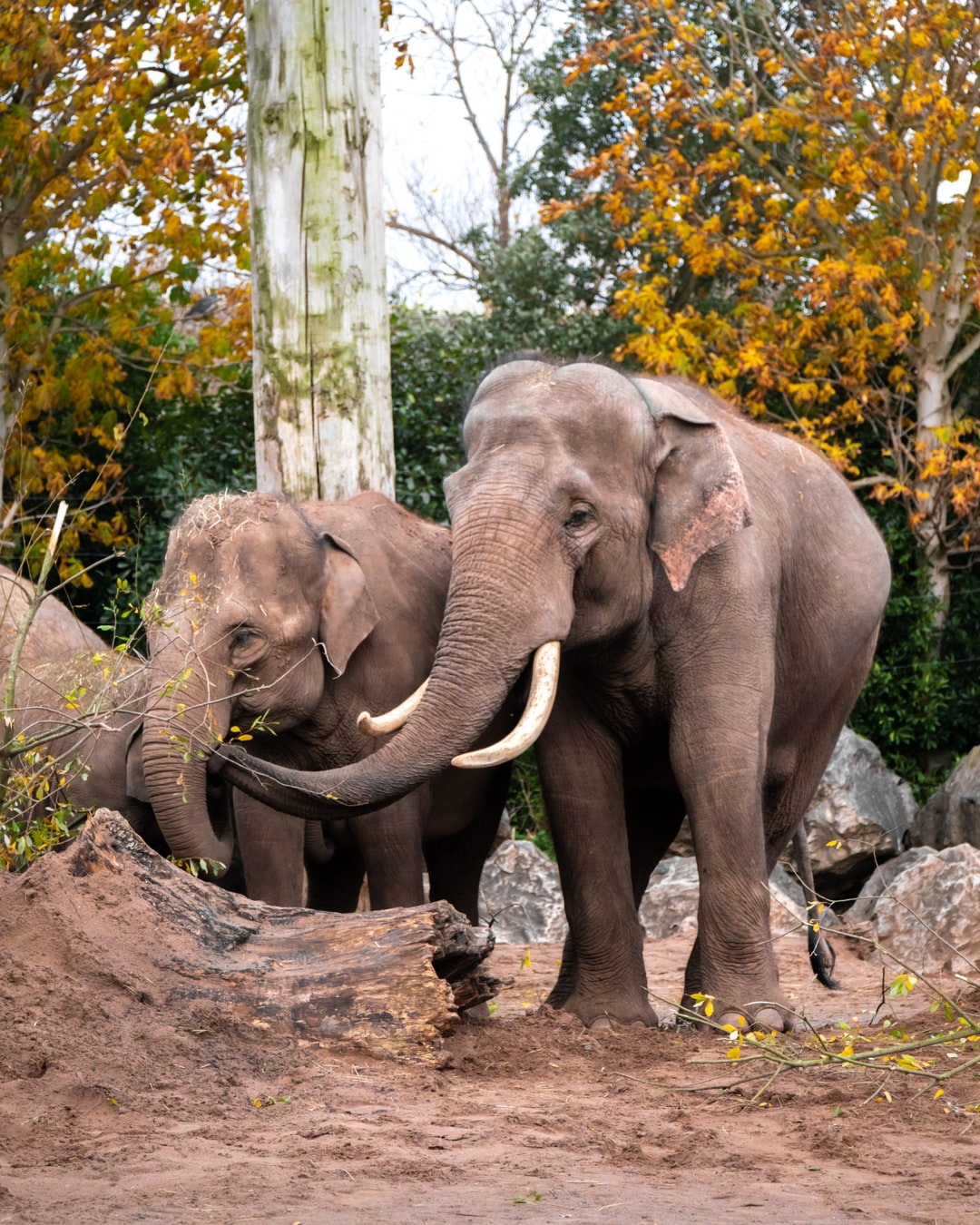 Family of elephants at Chester Zoo in Manchester