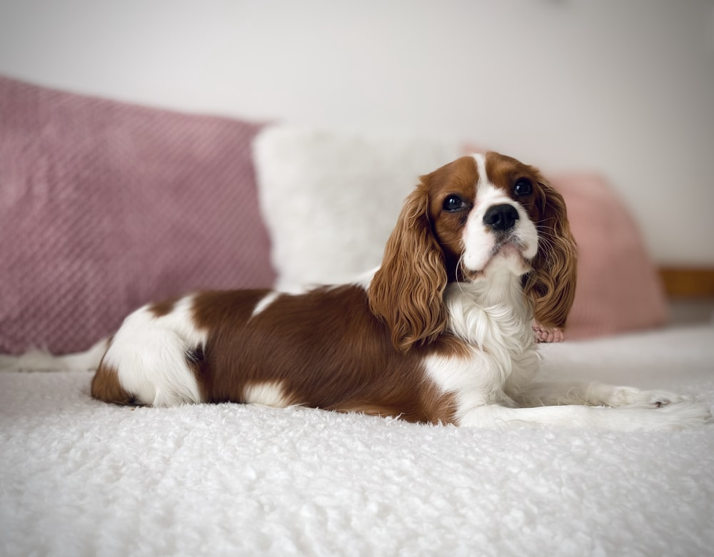 selective focus photography of white and brown dog on bed